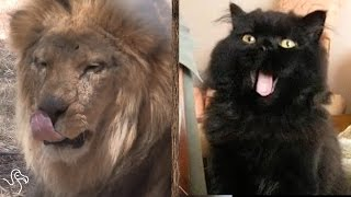 3 Ways Your Cat Is Actually A Lion