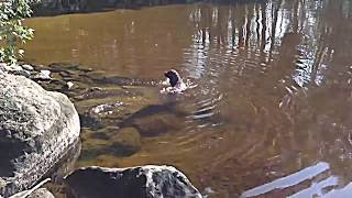 Spanish Water Dog Diving