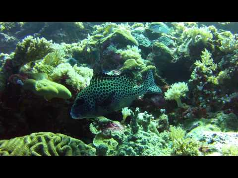 Many Spotted Sweetlips