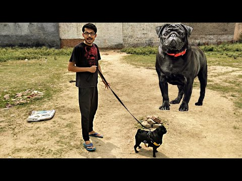 One Of Oldest dog Breed PUG || Most Friendly Dog Breed In the World || Black Pug || Review reloaded