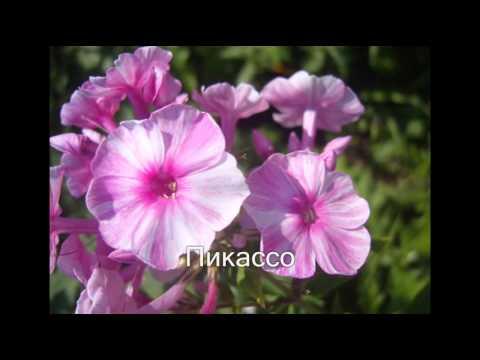 Цветок примула фото, выращивание и уход в домашних