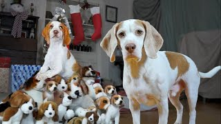 Dog Gets Puppy Christmas Surprise! Cute Dogs Maymo & Potpie