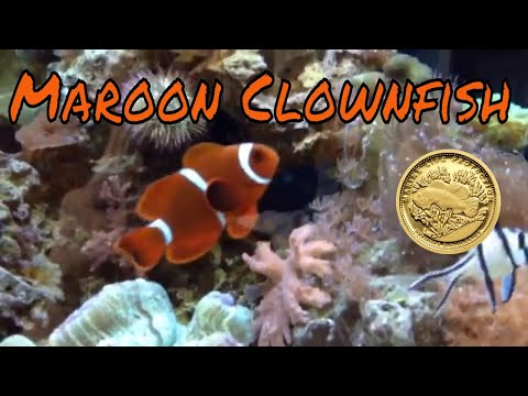 Maroon Clownfish Care Guide