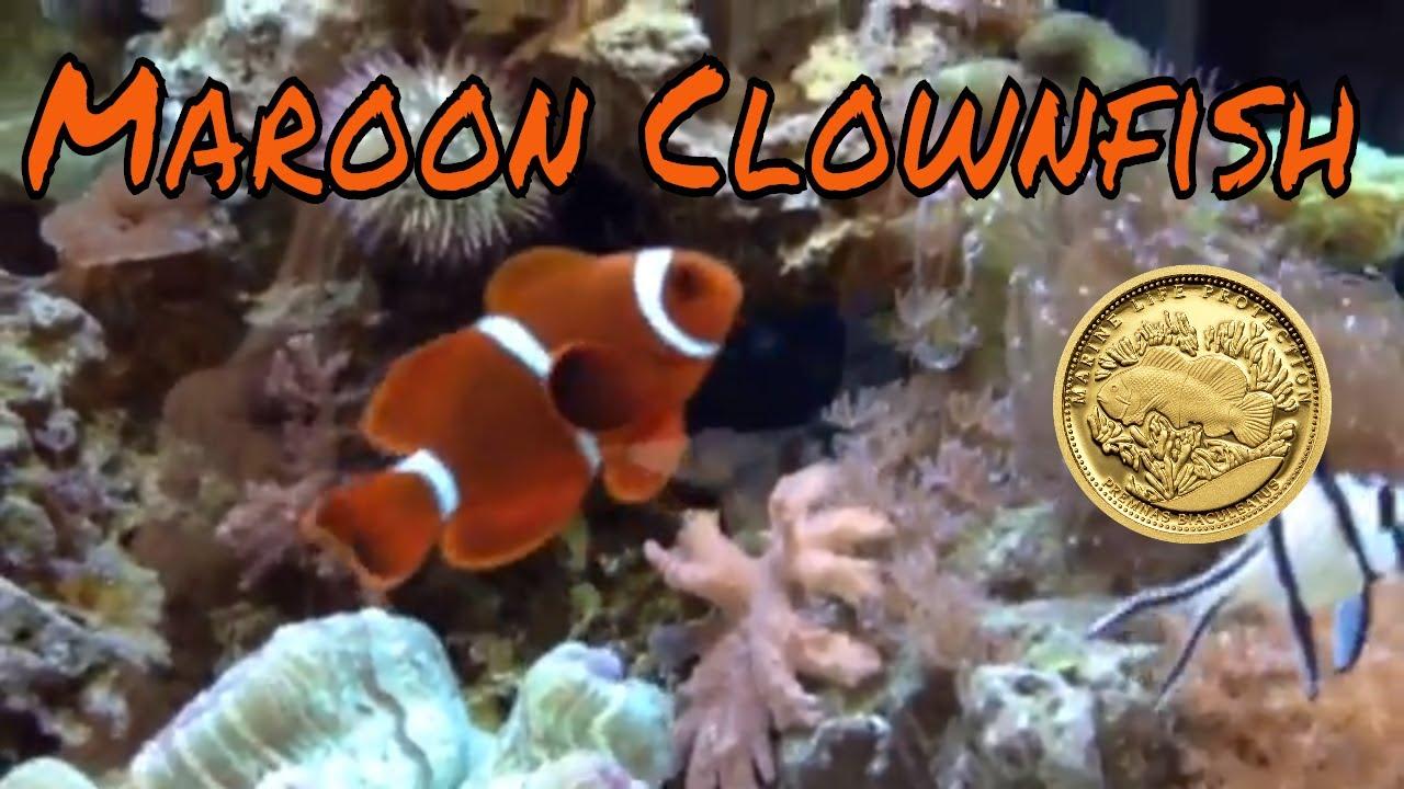 Maroon Clownfish | Maroon Clownfish Care Guide Youtube