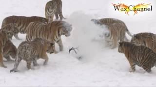 Сибирские тигры сбили квадрокоптер, который их дразнил!