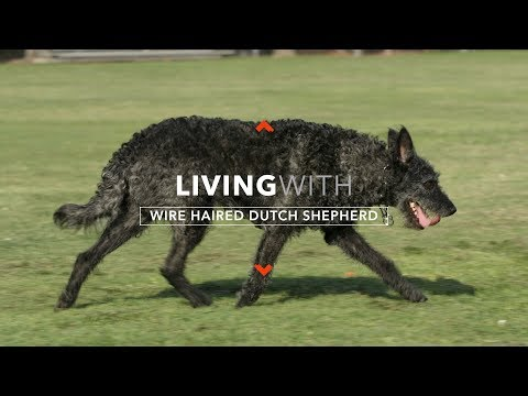 ALL ABOUT LIVING WITH WIRE HAIRED DUTCH SHEPHERDS