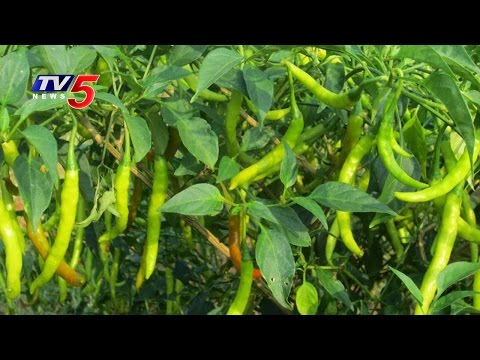 Organic Farming of Chilli | Ideal Farmers | Tenali | Annapurna | TV5 News