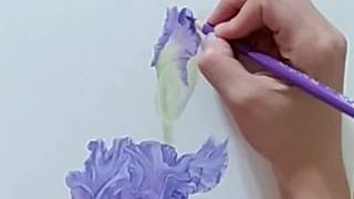 Botanical Bulb #2 Speed Drawing of Flower (Purple Iris) Colored Pencil Timelapse