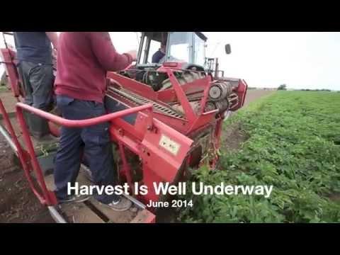 Comber Potato Company Harvesting