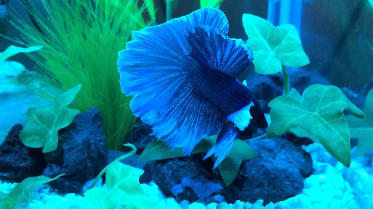 My betta fish flaring his fins and gills youtube for Do all fish have gills
