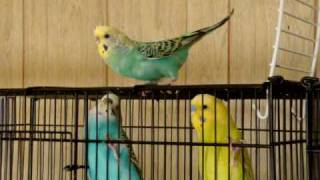 Female Budgie Wants to Mate