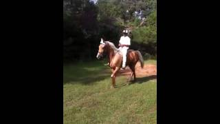 2yr old golden palomino saddle mare for sale!