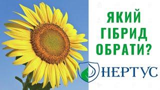 Нертус | Який гібрид соняшника обрати?