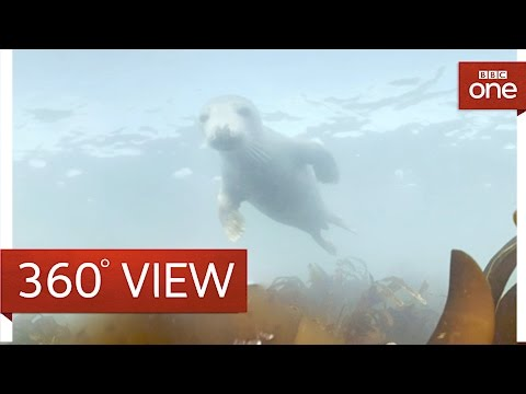 Diving with grey seals in 360° - The One Show - BBC One