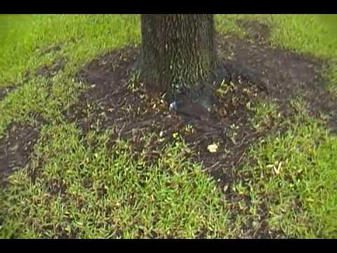 White Foam (Slime Flux) on a Live Oak Tree in Fort Worth Texas
