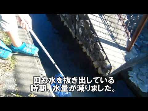 "クロダイ特エサザリガニ捕獲Nice bait for fishing ""How to catch crayfish in japan"""