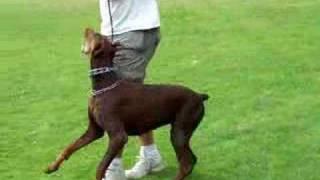 Sch 3  Doberman '  Schutzhund, Heeling,working Dogs, #superduperk9