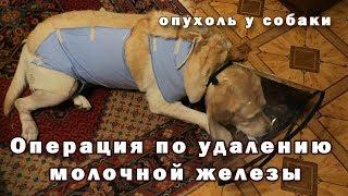 Операция по удалению молочных желез у собаки / 4 дня ужаса