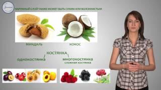 Биология 6  Плод   орган защиты и расселения семян
