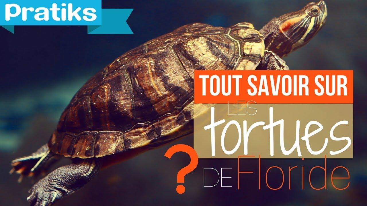 Tout savoir sur les tortues de floride ou tortues d for Bassin exterieur pour tortue de floride