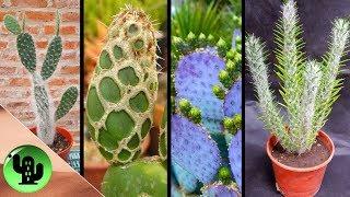 50 Tipos De Cactus Opuntia