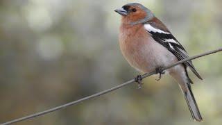 Curs d'identificació d'aus. 9 - Dels ferrericos a les sól·leres