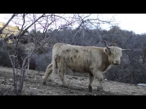 Gryphon Ranch - A Documentary on Scottish Highlanders and grass fed beef