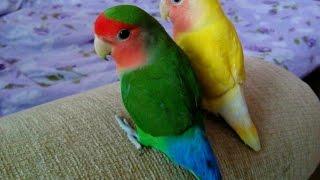 Попугаи неразлучники. Неразлучники купаются