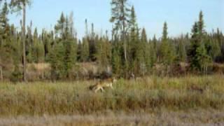 Gray wolf running in Northern Manitoba