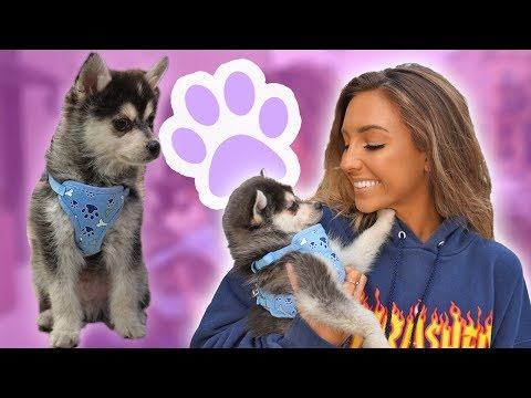 Download Youtube: MEET MY POMSKY DUNKIN!