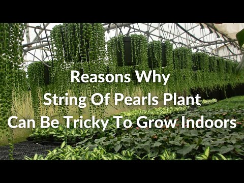 8 Reasons Why String Of Pearls Can Be Tricky To Grow Indoors / Joy Us Garden