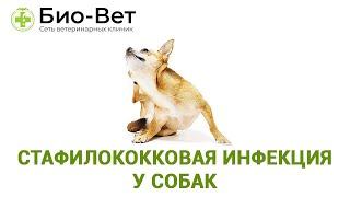 Стафилококковая  инфекция у собак. Ветеринарная клиника Био-Вет.