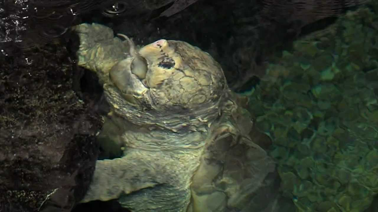 Alligator Snapping Turtle Feeding - Cincinnati Zoo - YouTube
