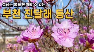 [부천 가볼만한곳] 부천 원미산 진달래동산에 설레는 봄…