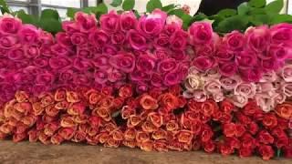 California rose growers target year round market