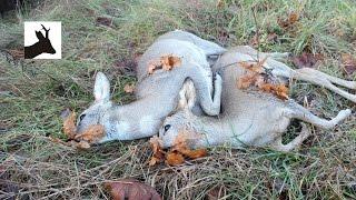 Stalking roe does - Polowanie na sarny kozy - Chasse au chevreuil