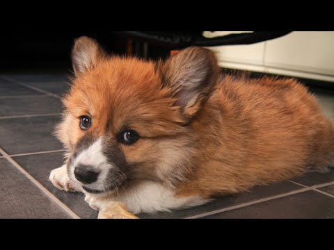 Amazing Facts on Cardigan Welsh Corgi | In Hindi | Dog Facts | Animal Channel Hindi