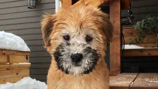 Our SoftCoated Wheaten Terrier puppy, first few days!