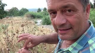 Самое популярное лекарственное растение в Греции это - Ослиная колючка...