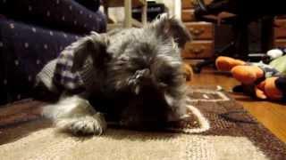 Miniature Schnauzer Eating Homemade Dog Biscut