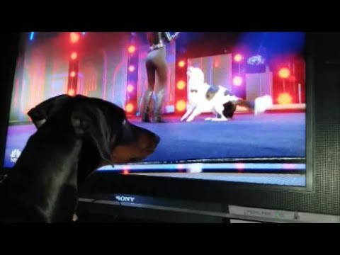 FUNNY DOBERMAN BARKING AT HERO AND SARA CARSON FROM AMERICA'S GOT TALENT AGT 2017!!