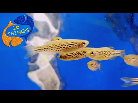 A Bulletproof Fish That Should Be In EVERY Aquarium! 10 Things Danios!