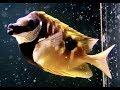 ヒフキアイゴ Blotched foxface Siganus unimaculatus の動画、YouTube動画。