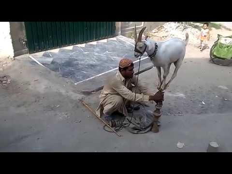Monkey and Goat circus in Pakistan