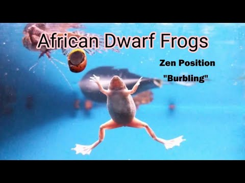 African Dwarf Frogs Floating and Eating Blood Worms | Facts about African Dwarf Frogs