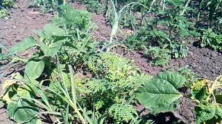 Гербицид ПРИМУС  на посевах кукурузы /Herbicide PRIMUS, force in operations on sowing of corn