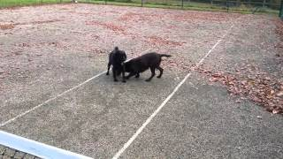 Sprocker Male Spaniel In Love With Cocker Spaniel