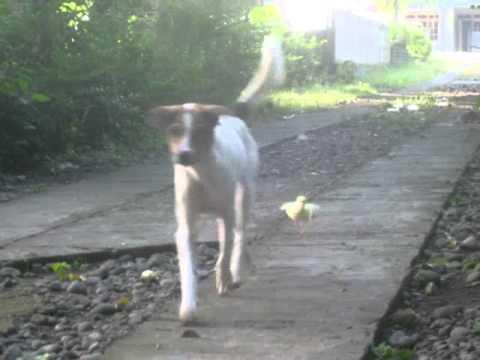Download Video Anjing Lucu VS Anak Itik