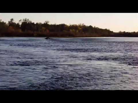 Fall Salmon Run West Coast North America Visible Fish