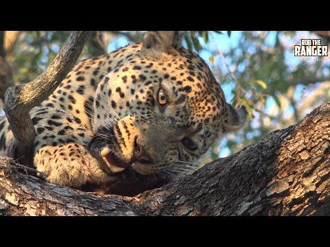 Warthog Provides A Leopard With Meals For A Few Days